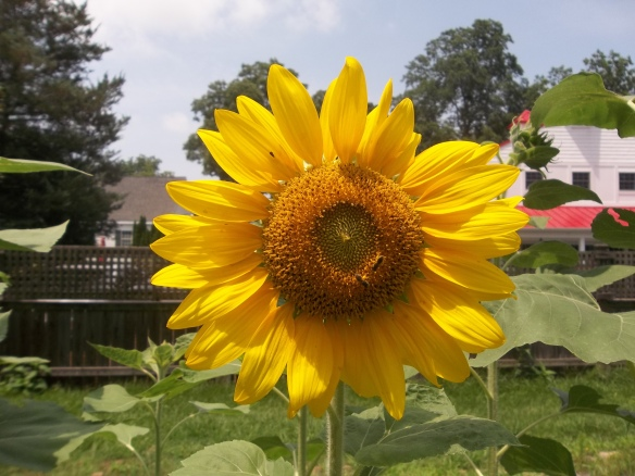 "Our sunflowers are growing so tall   ""Love having them around they are so cheerful!""- Zel"