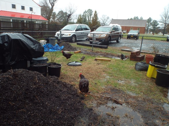 "Chickens having a ""Spa Day"", taking a mud bath! (Rachel thinks they look like wet dogs)."